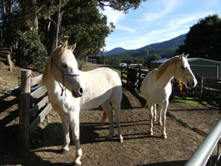 Horses after Reconnective Healing